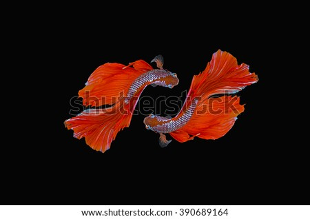 Fish, Siamese Fighting Fish, Fighting, Isolated, Tropical Freshwater Fish on black background. - stock photo