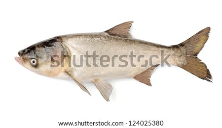 Fish Silver Carp, Hypophthalmichthys Molitrix Isolated on White Background