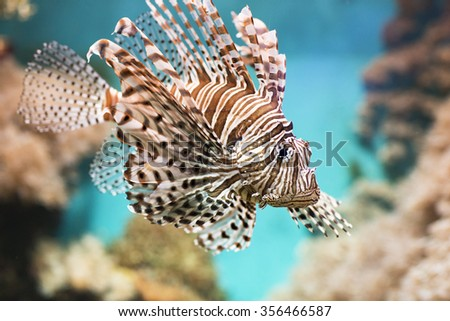 Fish swims in the aquarium, Zebra winged. Fish among corals and algae.