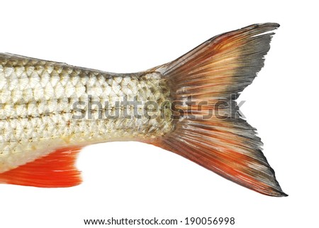fish tale isolated on white - stock photo
