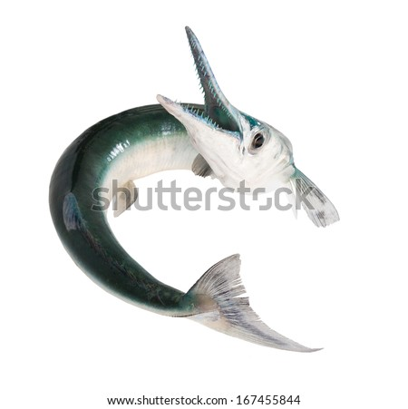Fish with a toothy maw -  houndfish, Tylosurus crocodilus, is a gamefish of the family Belonidae