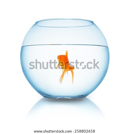 fishbowl with a goldfish from behind on white background - stock photo