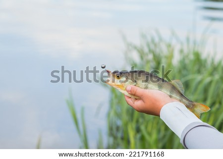 Fisherman holding a large perch.Man fisherman catches a fish. Fisherman in his hand holding spinning. Fishing, spinning reel, fish, Breg rivers. - The concept of rural getaway. Article about fishing. - stock photo