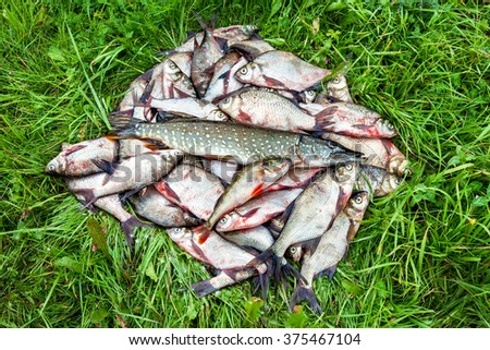 Fisherman trophy. Freshwater fish on the green grass - stock photo