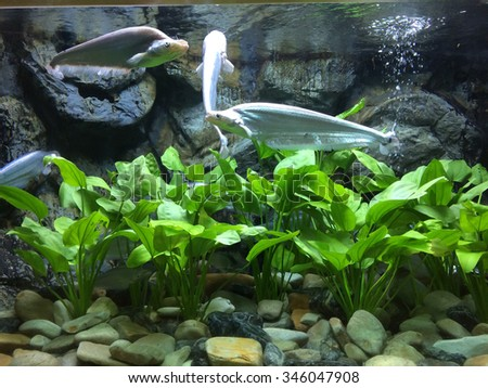 Fishes and water plants in aquarium - stock photo