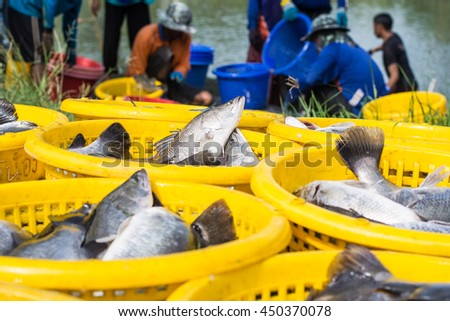 Fishes are collected in the baskets by the fishermen. - stock photo