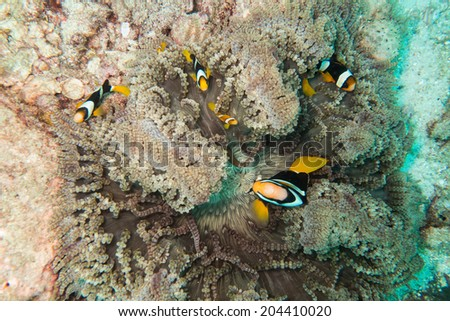 Fishes in sea anemone - stock photo