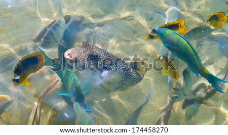 Fishes of the Red Sea. Egypt