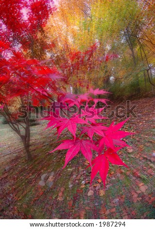 Fisheye photo of Japanese Maple tree in full color with lens zoom during exposure - stock photo
