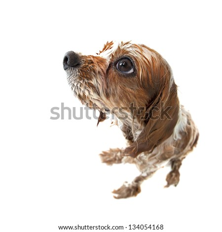Fisheye shot of Archie the Blenheim Cavalier King Charles spaniel pup taking a bath. Wet dog isolated on white. - stock photo