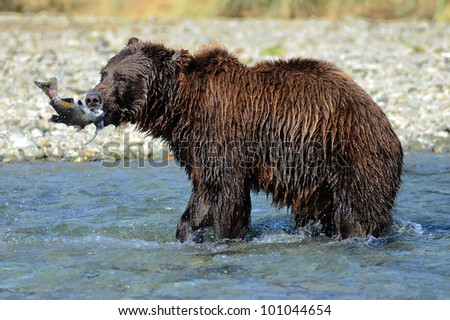 Fishing Bear - stock photo