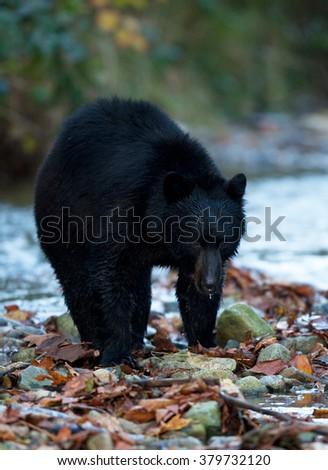 fishing black bear in british columbia - stock photo