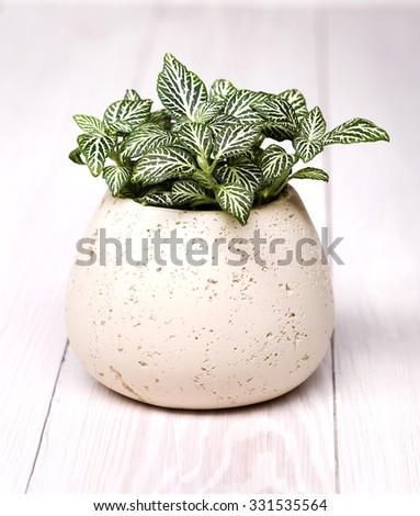 Fittonia. Houseplant. - stock photo