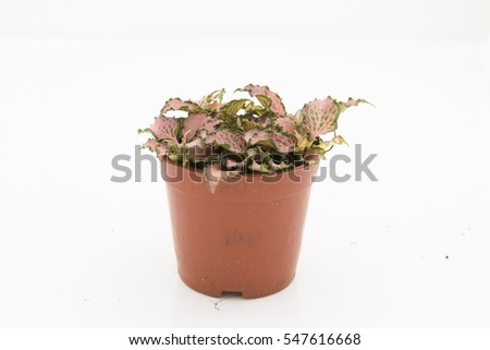 Fittonia verschaffeltii pink star planted in pot. Also know as nerve plant, mosaic plant and painted net plant. Houseplant with green foliage and contrasting pink veins. Isolated on white background.