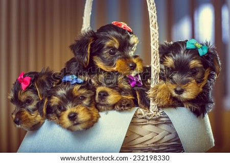 Five adorable little Yorkshire terrier dog puppies with head fur tied with colorful bows resting in a basket. Shallow depth of field. - stock photo