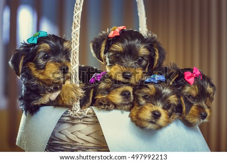 Must see Terrier Bow Adorable Dog - stock-photo-five-adorable-little-yorkshire-terrier-dog-puppies-with-head-fur-tied-with-colorful-bows-resting-in-497992213  You Should Have_784257  .jpg