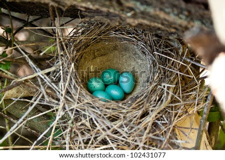 Five blue eggs in the nest