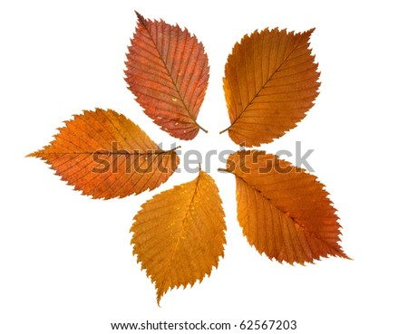 five brown autumn leaves of elm tree - stock photo