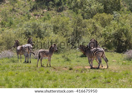 Five Burchell's Zebra (Equus Quagga Burchellii) playing on a grassy plain in Pilanesberg, South Africa - stock photo