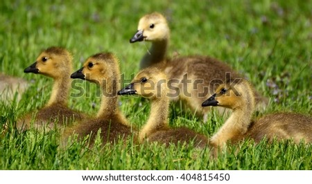 Five Canada Goose (Branta canadensis) Goslings on Grass - stock photo