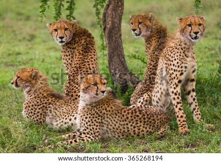 Five cheetahs in the savannah. Kenya. Tanzania. Africa. National Park. Serengeti. Maasai Mara. An excellent illustration. - stock photo