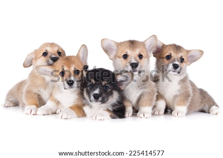 five cute corgi puppies isolated on white background