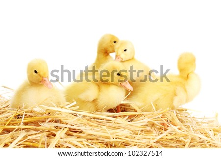 Five duckling on straw isolated on white