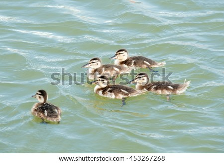 five ducklings swimming in the water - stock photo