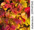 five-finger leaves in autumn colors - stock photo