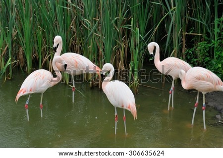 five flamingos in the Poznan zoo, Poland