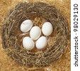 five fresh white eggs on hay nestle - stock photo