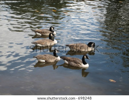 five geese on water - stock photo