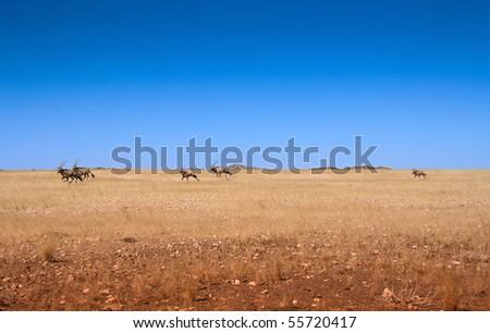 five gemsbok oryx running across a desert plain in Namibia - stock photo