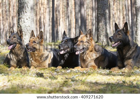five German Sheepdogs in forest - stock photo