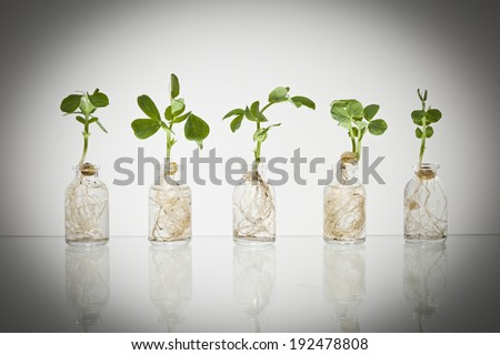 Five glass science vials with pea sprouts growing out of them with water against a white background with a dark vignette. - stock photo