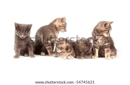 Five gray kittens in a row on white background
