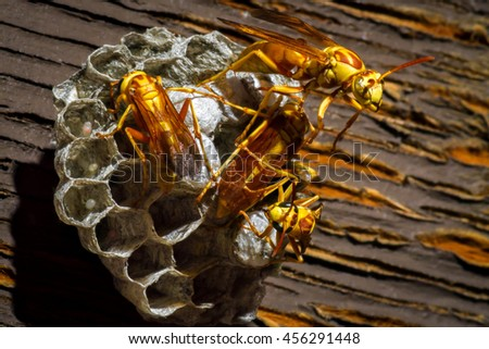 Five large, yellow, paper wasps work on their nest.  There are eggs in three of the nest cells and the wasps are covering others. - stock photo
