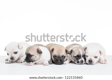 Five little chihuahua puppies on a blank white table. - stock photo