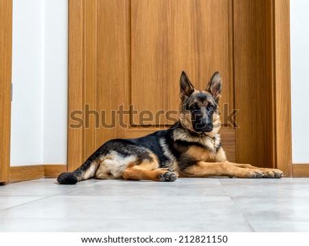 Five month German Shepherd puppy waiting by the doors - stock photo