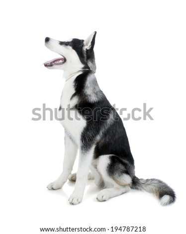 Five-month puppy Siberian husky sitting on a white background