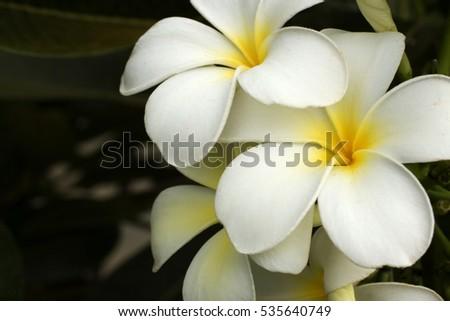 Five petal white flowers frangipani plumeria stock photo royalty five petal white flowers frangipani plumeria with yellow center on the green leaf background mightylinksfo Images