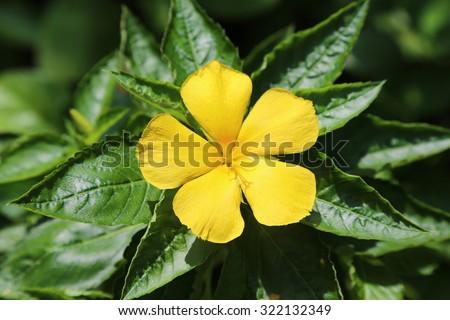 Five petal yellow asian flower green stock photo royalty free five petal yellow asian flower with green leaves in the background mightylinksfo