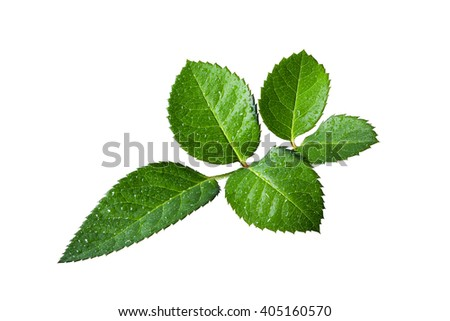 Five petals of rose leaves with droplets close up isolated on white background
