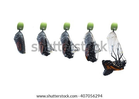 Five photos showing the birthing process of a newborn butterfly. Stages from right before the chrysalis hatches to the first drop out of the butterfly. Pure white, horizontal background, copy space. - stock photo