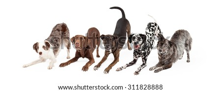 Five playful and obedient dogs doing an bow down animal trick - stock photo