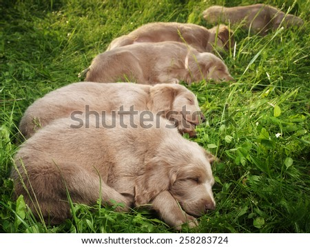 five pupies sleeping in the grass - stock photo