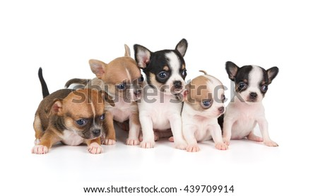 Five puppies of Chihuahua isolated on white