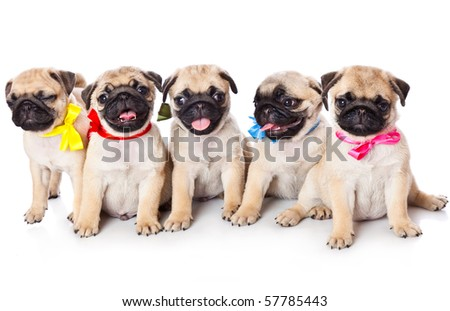Five puppies of pug. Isolated on white - stock photo