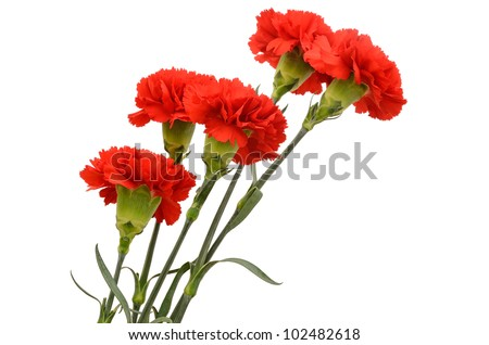 Five red carnations isolated on white background - stock photo