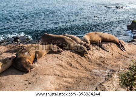 Five seals resting on a cliff in the morning light at La Jolla Cove in La Jolla, California. - stock photo